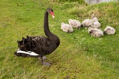 Семья лебедя Стоковая Фотография RF