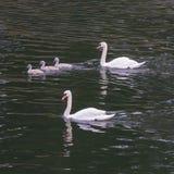 Семья лебедя Стоковое Изображение RF