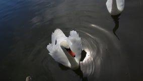 Семья лебедя видеоматериал