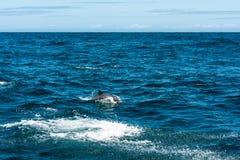 Семья дельфина играя в воде Стоковые Изображения