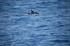 Семья дельфина плавая совместно в море, наблюдать дельфина Стоковое фото RF