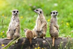 Семья животных Suricatta Meerkat Suricata стоковая фотография