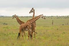 Семья жирафа в Кении Стоковая Фотография