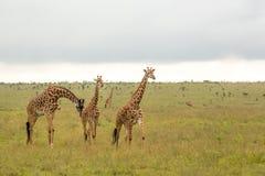 Семья жирафа в Кении Стоковые Изображения