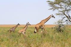 Семья жирафа Стоковые Изображения RF