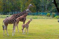 Семья жирафа Стоковое Фото