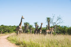 Семья жирафа Стоковое фото RF