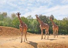 Семья жирафов Стоковое фото RF