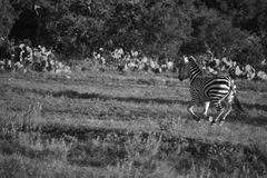 Семья зебры бежать в черно-белом Стоковая Фотография