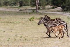 Семья зебры в национальном парке Tarangire, Танзании Стоковое Изображение RF