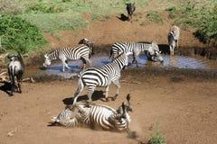 Завальцовка зебры в пыли Стоковое фото RF
