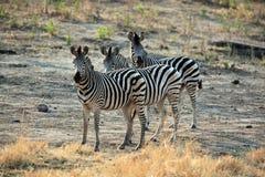 Семья зебры стоя в африканской саванне Стоковое Изображение