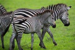 Семья зебры Стоковая Фотография RF