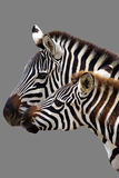 Семья зебры Стоковая Фотография