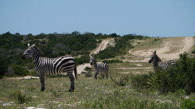 Семья зебры Стоковое Фото