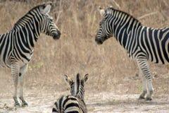 Семья зебр в одичалом в Сенегале Стоковые Изображения
