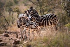 Семья зебр в Южной Африке Стоковое Фото