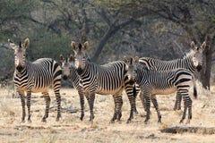 Семья зебр горы hartmann смотря в кулачок Стоковое Изображение RF