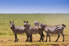 Семья зебр на африканской саванне Стоковое Изображение RF