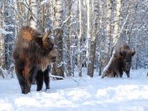 Семья зубра в лесе березы зимы Стоковые Изображения RF