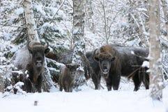 Семья зубра в лесе березы зимы Стоковое Изображение RF