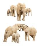 Семья изолированных слонов Стоковые Изображения RF
