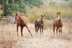 Семья дикой лошади Стоковая Фотография RF