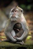семья Индонесия bali monkeys звеец Стоковое фото RF
