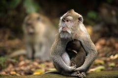семья Индонесия bali monkeys звеец Стоковое Фото