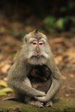 семья Индонесия bali monkeys звеец Стоковое Изображение