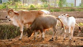 Семья индийского буйвола и коров Стоковая Фотография RF