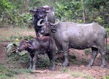 Семья индийского буйвола стоя совместно в дожде, национальном парке Uda Wallawe, Шри-Ланке Стоковое Фото