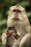 семья Индонесия bali monkeys звеец Стоковые Изображения