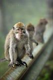 семья Индонесия bali monkeys звеец стоковые изображения rf