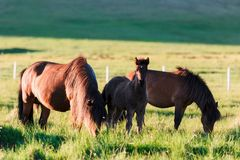 Семья исландских лошадей Стоковые Фотографии RF