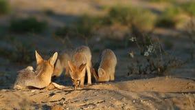 Семья лисы накидки видеоматериал