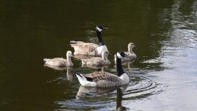 Семья канадских гусынь на озере в Англии Стоковая Фотография RF