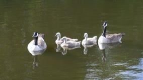 Семья канадских гусынь на озере в Англии Стоковое Изображение RF