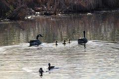Семья канадских гусынь плавая около других уток Стоковое Изображение