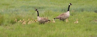 Семья канадских гусынь идя в травянистое поле Стоковые Изображения