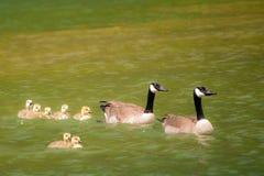 Семья канадских гусынь Стоковое фото RF