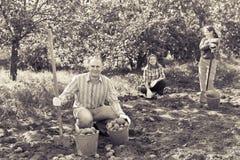 Семья картошки в саде стоковые фото