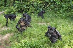 Семья карликовых шимпанзе шимпанзе сидит на траве Карликовый шимпанзе (paniscus лотка) Стоковые Фото