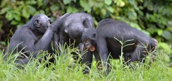Семья карликовых шимпанзе шимпанзе сидит на траве Карликовый шимпанзе (paniscus лотка) Стоковая Фотография RF