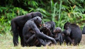 Семья карликовых шимпанзе Стоковое Изображение