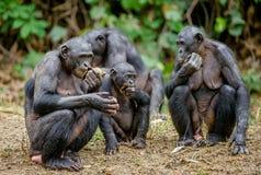 Семья карликовых шимпанзе Стоковая Фотография