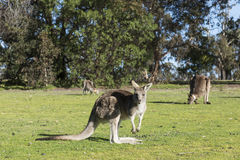 Семья кенгуру, Австралия Стоковые Фотографии RF