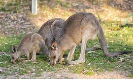 Семья кенгуру совместно Стоковые Изображения