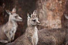 Семья кенгуру Стоковые Фото