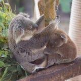 Семья коалы Стоковые Изображения RF